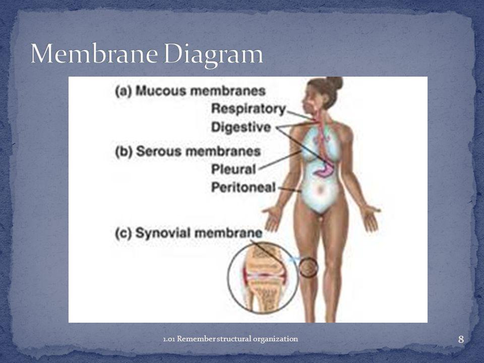 Membrane Diagram 1.01 Remember structural organization