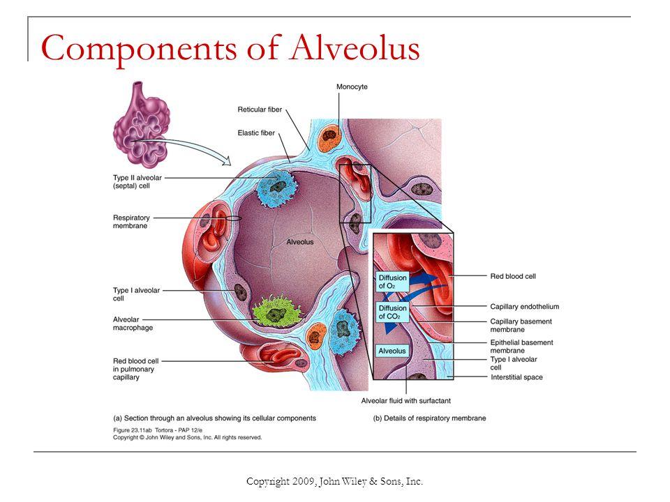 Components of Alveolus