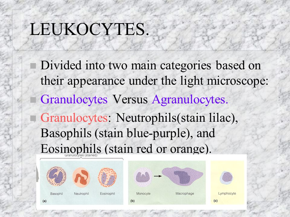 LEUKOCYTES. Divided into two main categories based on their appearance under the light microscope: Granulocytes Versus Agranulocytes.