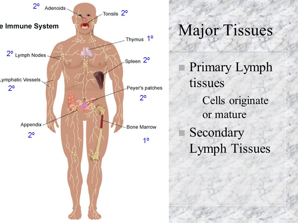 Major Tissues Primary Lymph tissues Secondary Lymph Tissues