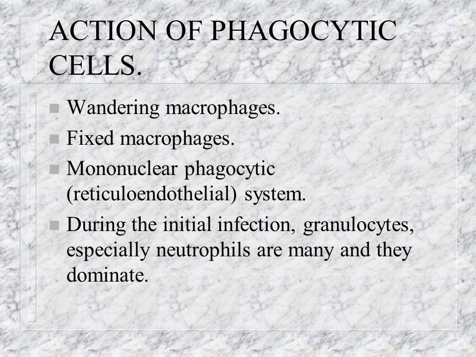 ACTION OF PHAGOCYTIC CELLS.
