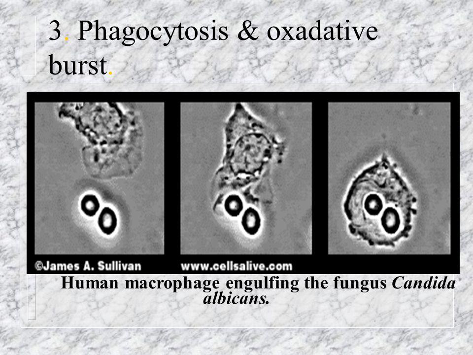 3. Phagocytosis & oxadative burst.