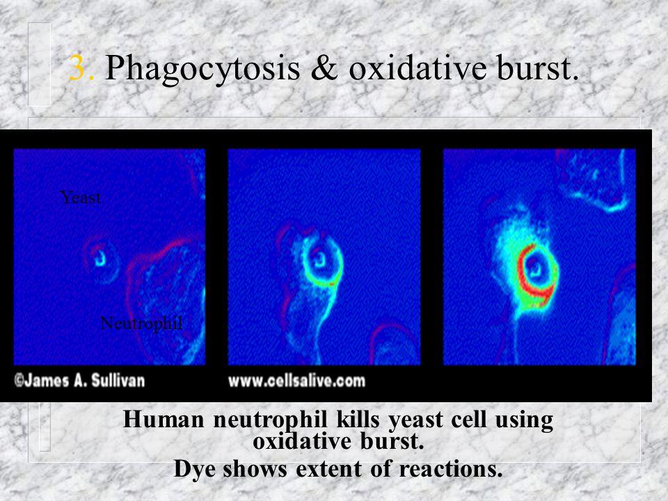 3. Phagocytosis & oxidative burst.