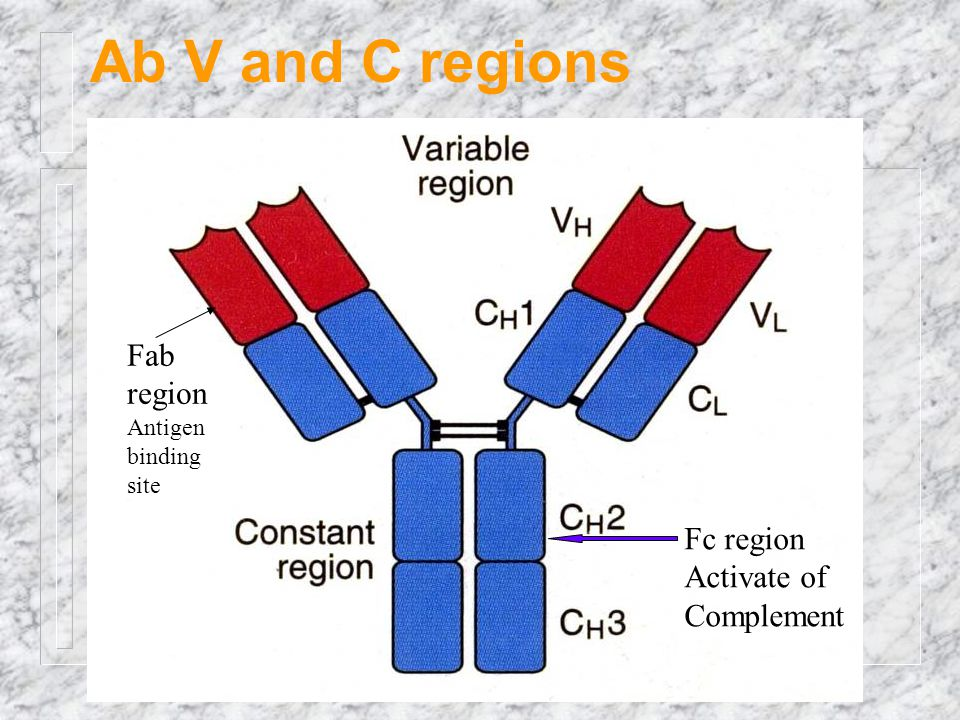 Ab V and C regions Fab region Fc region Activate of Complement