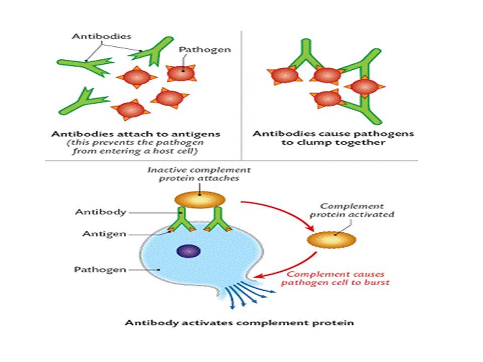 1. Antibodies attach to antigens