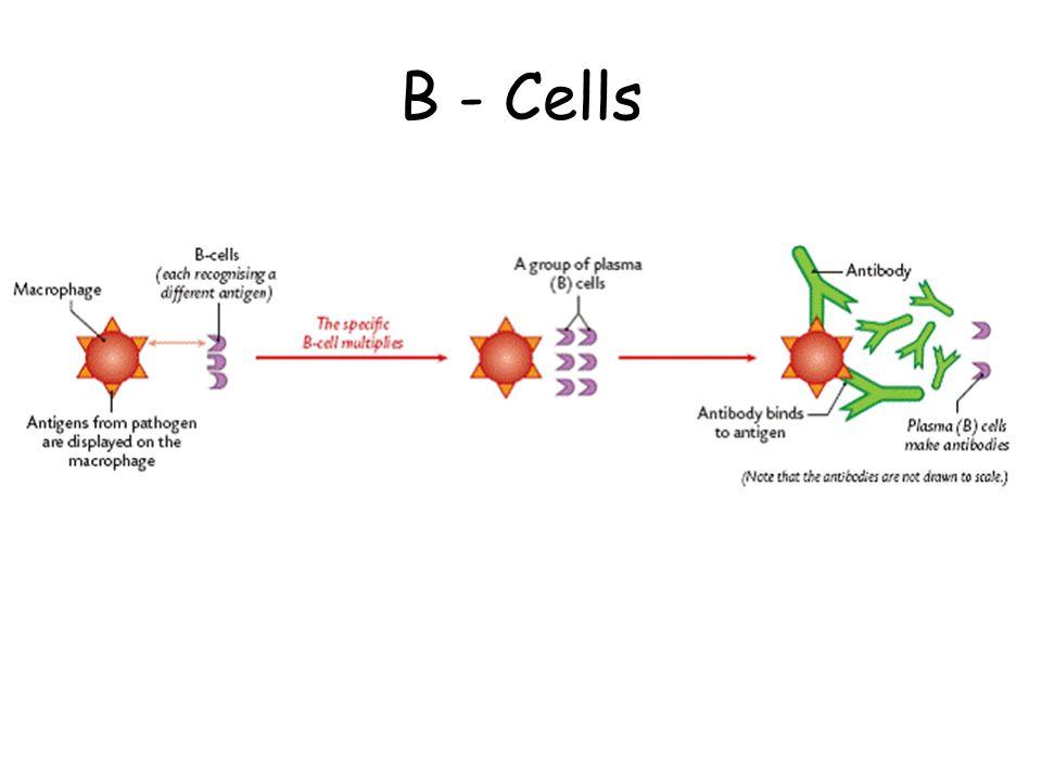 B - Cells