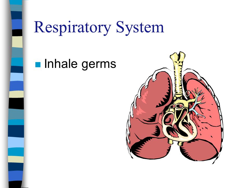 Respiratory System Inhale germs