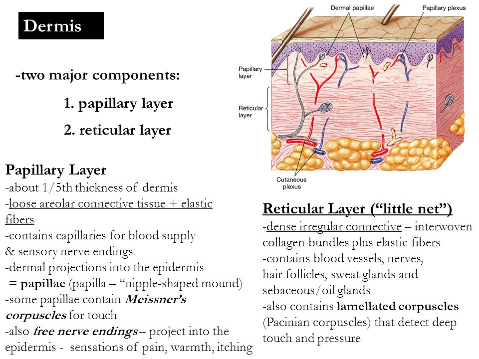 Dermis -two major components: 1. papillary layer 2. reticular layer