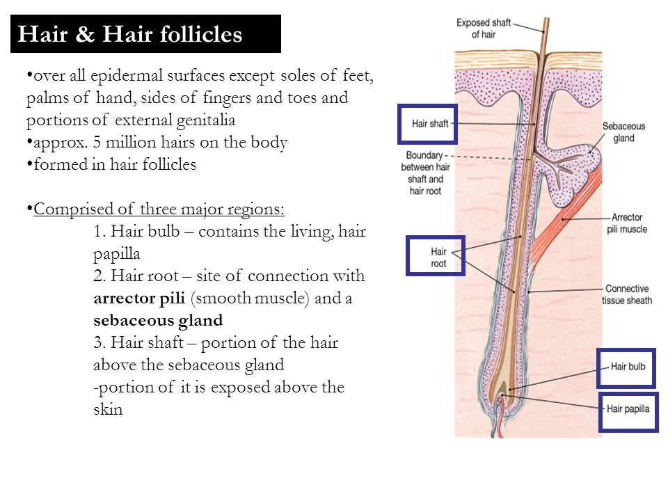 Hair & Hair follicles over all epidermal surfaces except soles of feet, palms of hand, sides of fingers and toes and portions of external genitalia.