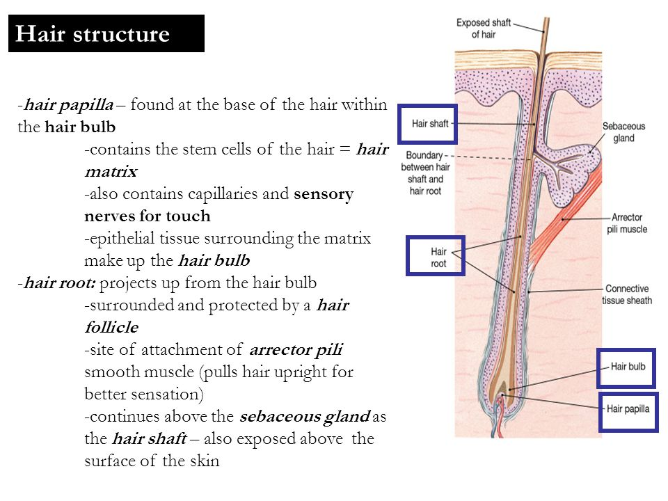 Hair structure -hair papilla – found at the base of the hair within the hair bulb. -contains the stem cells of the hair = hair matrix.