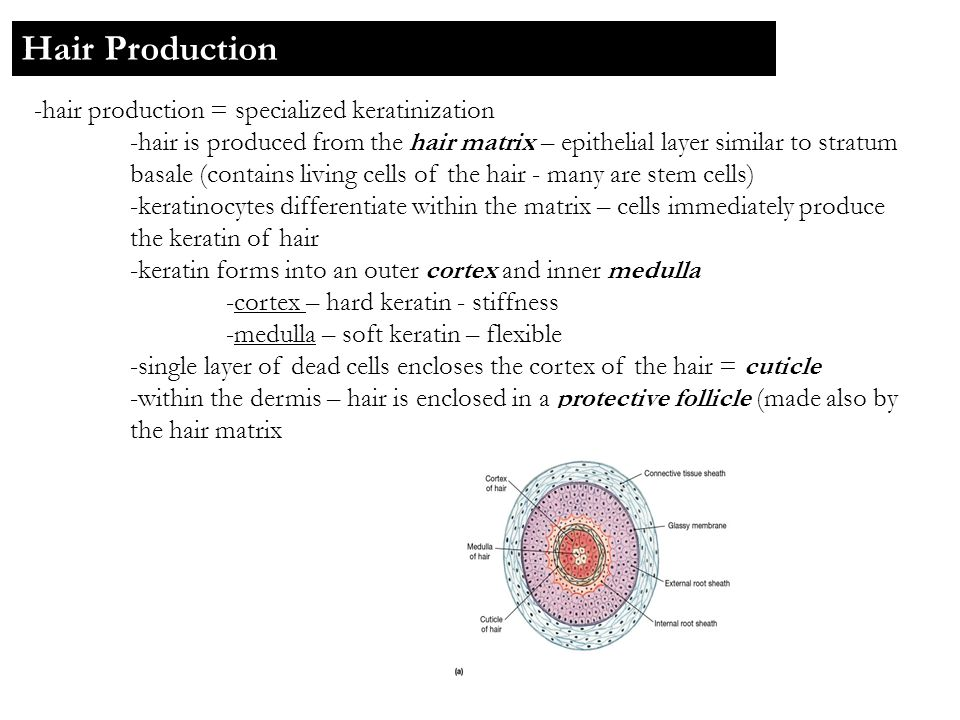 Hair Production -hair production = specialized keratinization