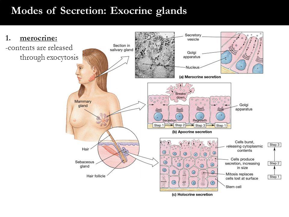 Modes of Secretion: Exocrine glands