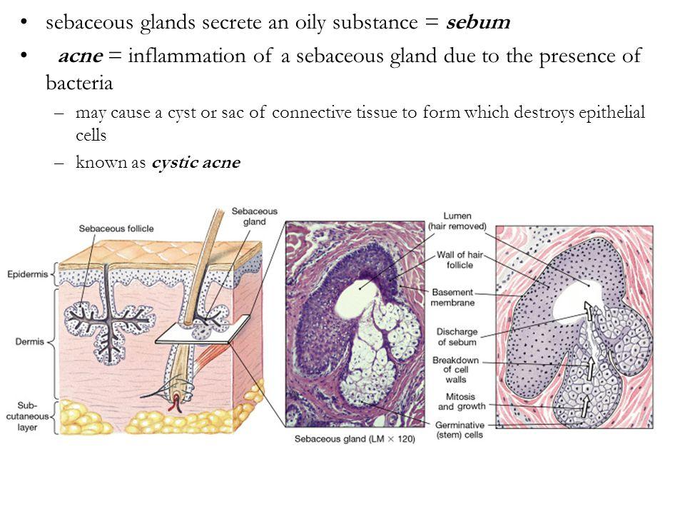 sebaceous glands secrete an oily substance = sebum