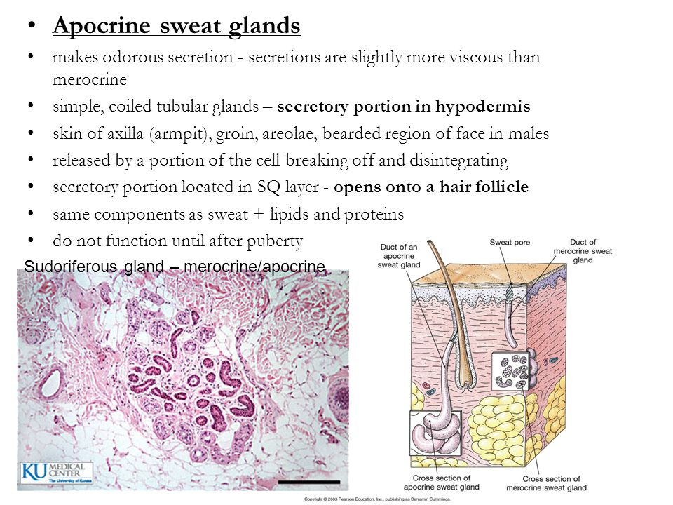 Apocrine sweat glands makes odorous secretion - secretions are slightly more viscous than merocrine.