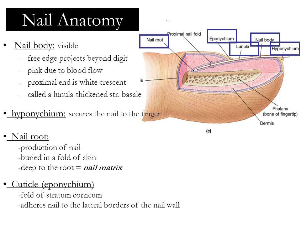 Nail Anatomy Nail body: visible