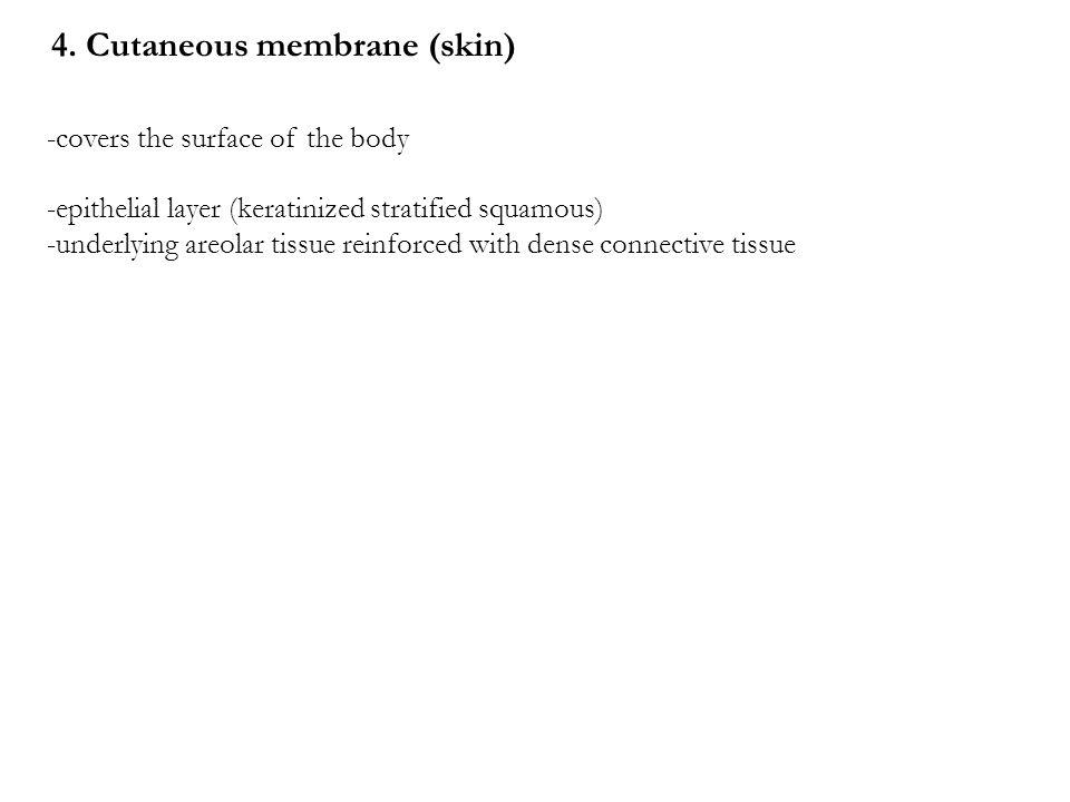 4. Cutaneous membrane (skin)