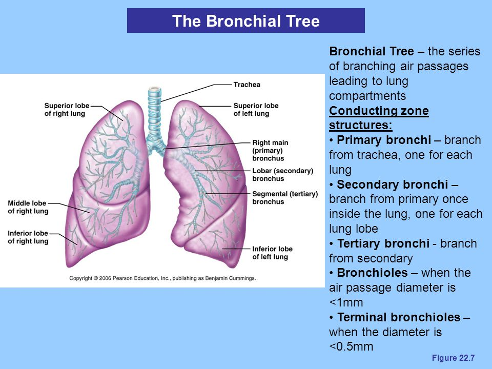 The Bronchial Tree Bronchial Tree – the series of branching air passages leading to lung compartments.
