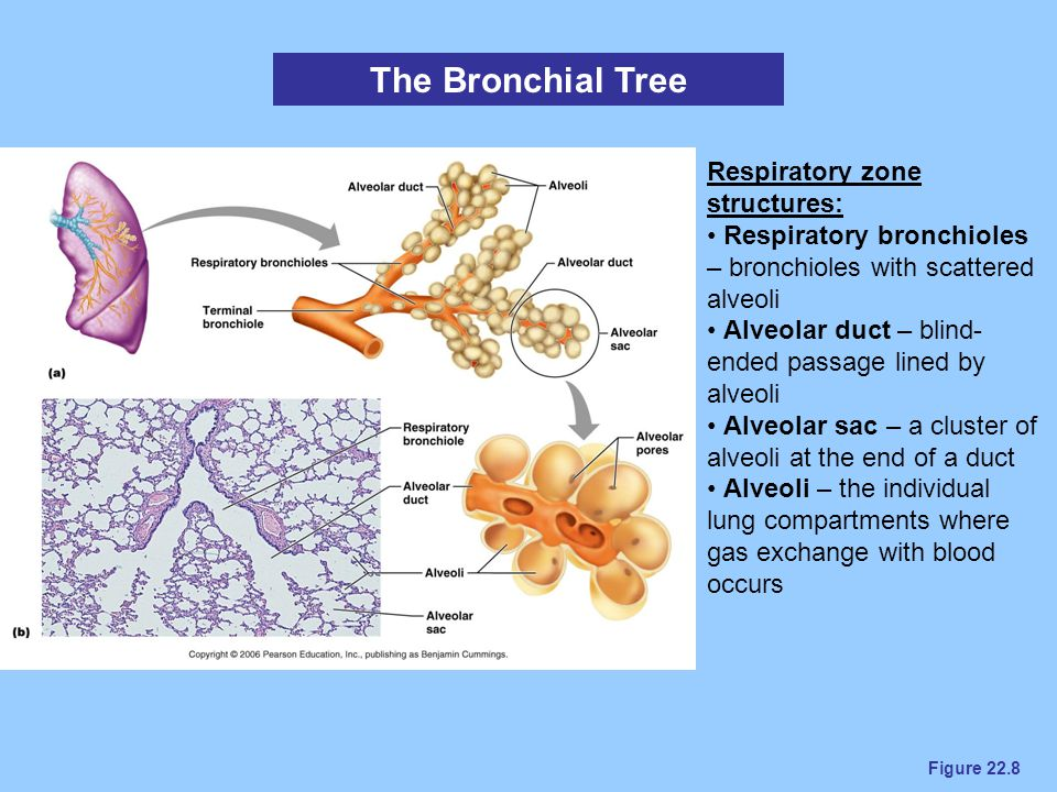 The Bronchial Tree Respiratory zone structures: