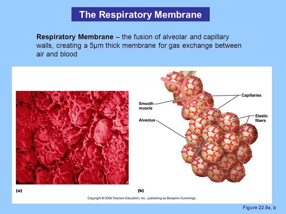 The Respiratory Membrane