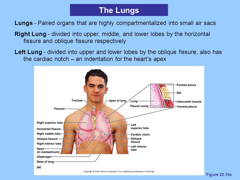 The Lungs Lungs - Paired organs that are highly compartmentalized into small air sacs.