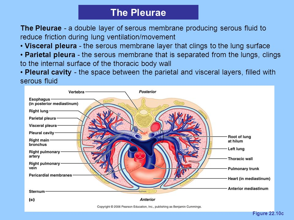 The Pleurae The Pleurae - a double layer of serous membrane producing serous fluid to reduce friction during lung ventilation/movement.