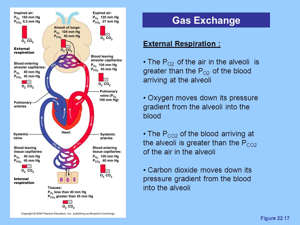 Gas Exchange External Respiration :