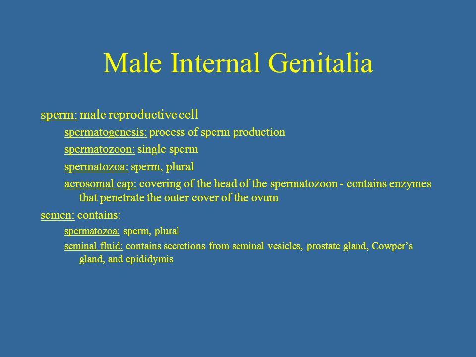 Male Internal Genitalia