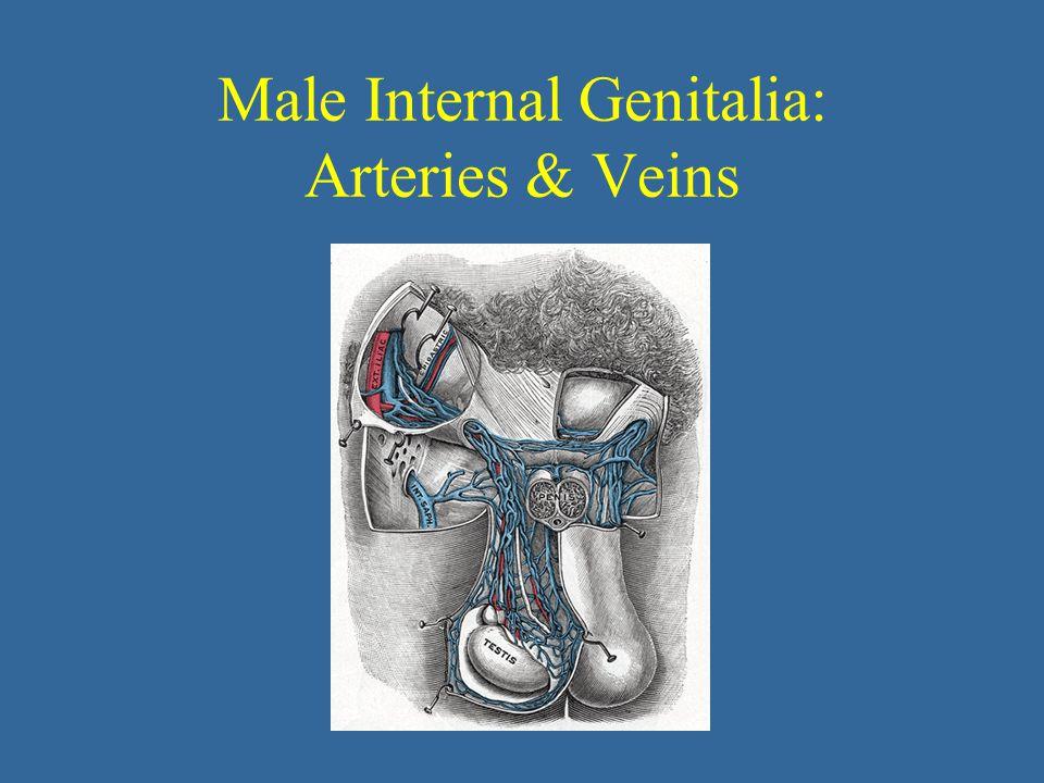 Male Internal Genitalia: Arteries & Veins
