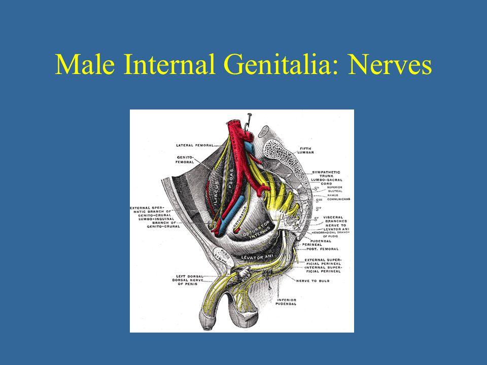 Male Internal Genitalia: Nerves