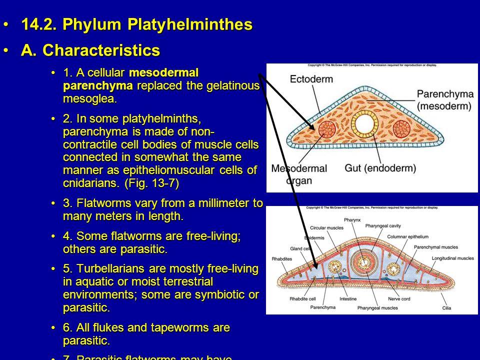 14.2. Phylum Platyhelminthes A. Characteristics