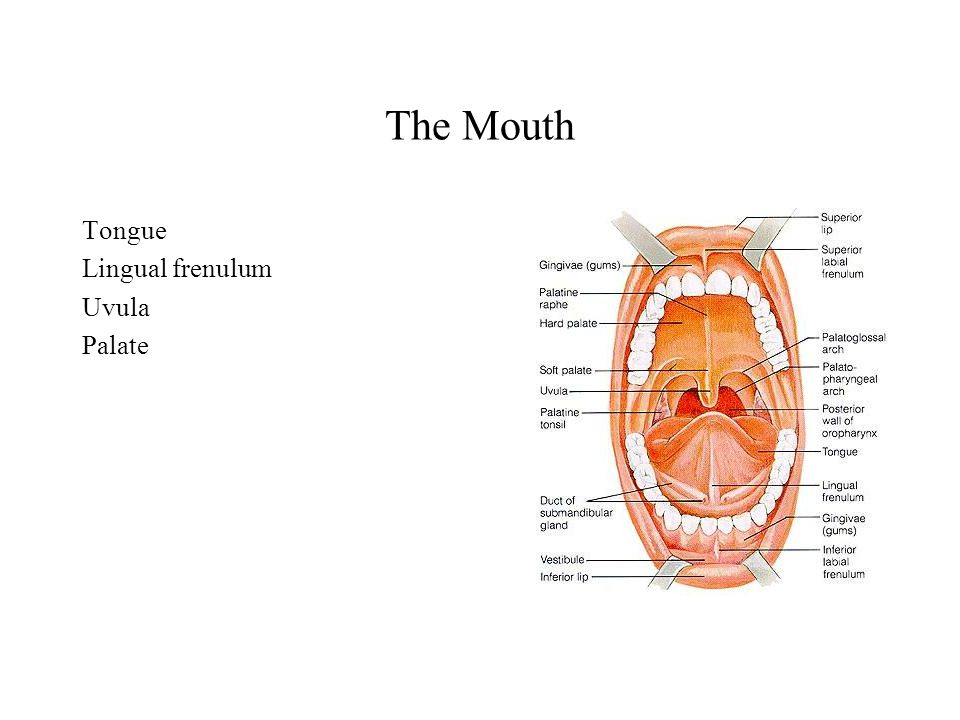 The Mouth Tongue Lingual frenulum Uvula Palate