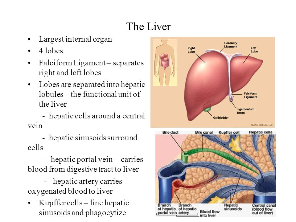 The Liver Largest internal organ 4 lobes