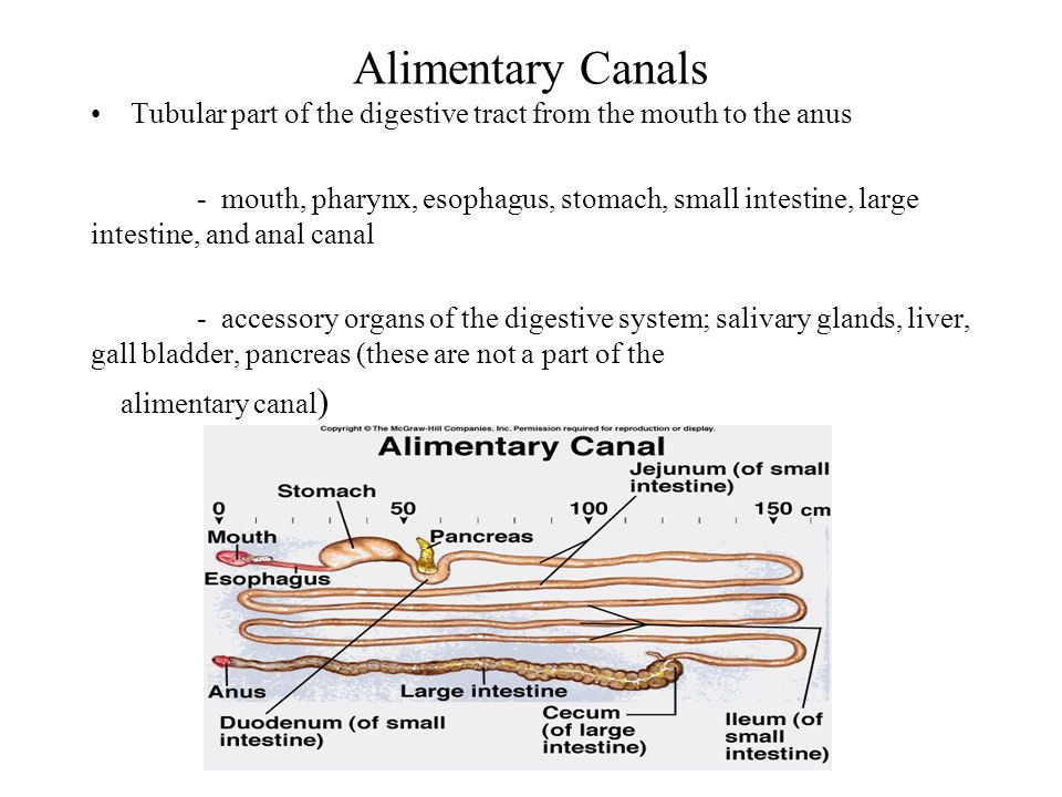 Alimentary Canals Tubular part of the digestive tract from the mouth to the anus.