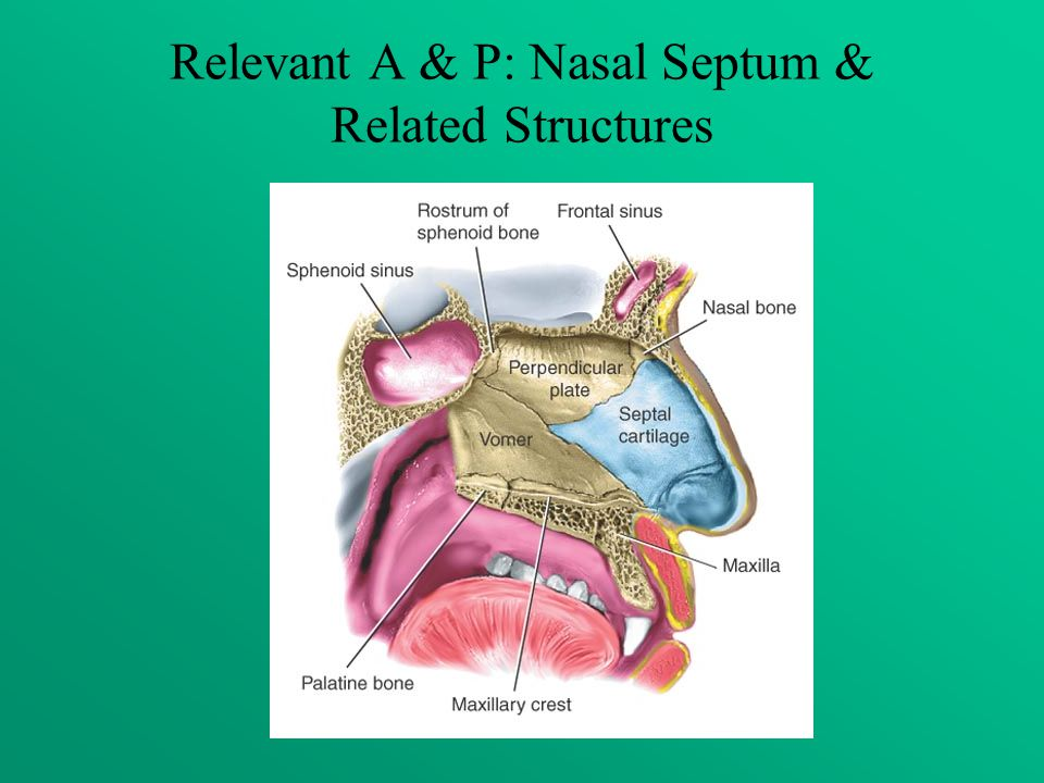 Relevant A & P: Nasal Septum & Related Structures