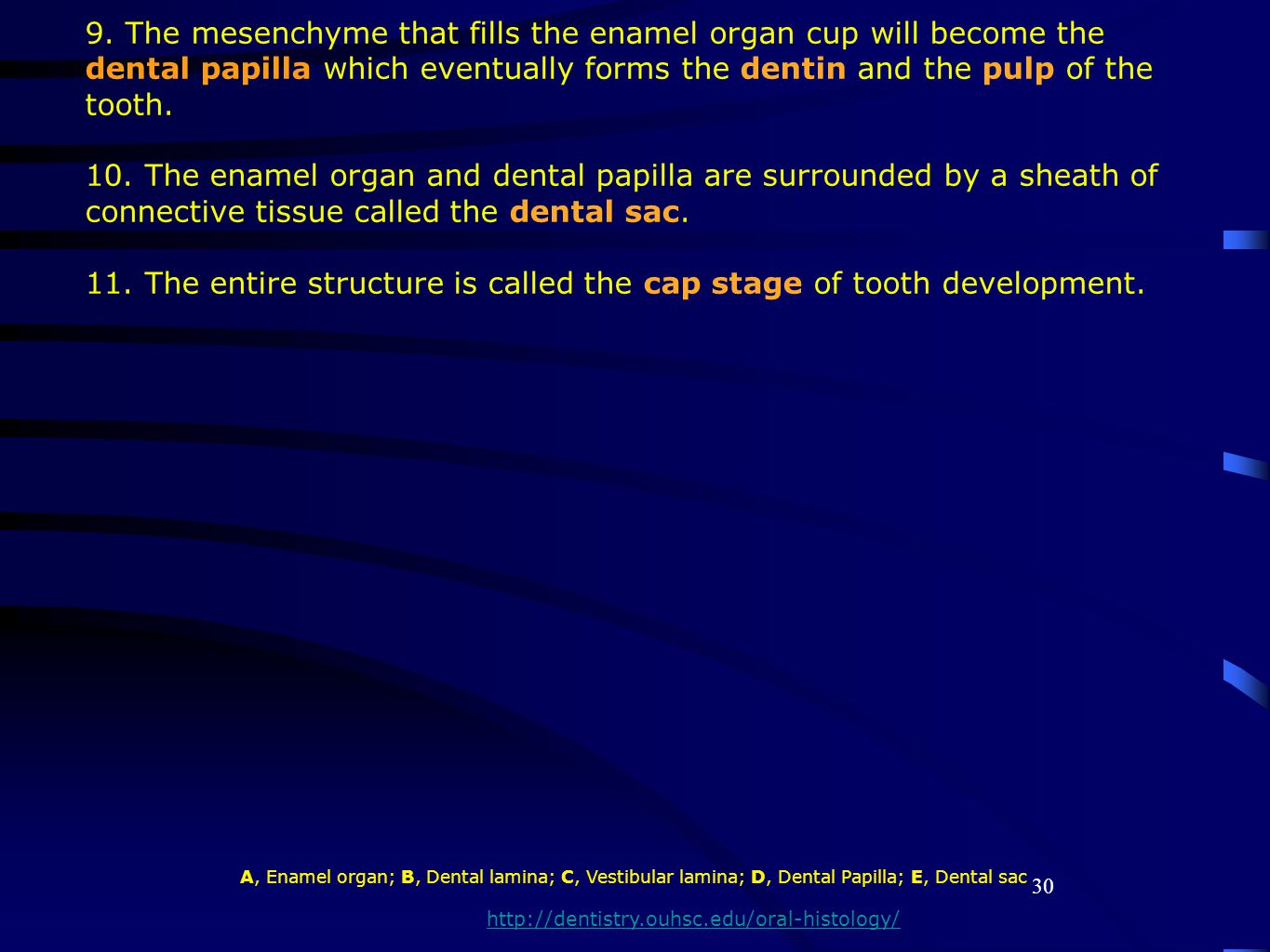 11. The entire structure is called the cap stage of tooth development.