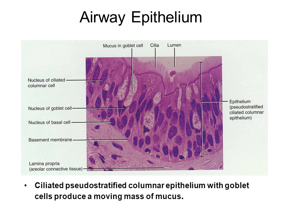 Airway Epithelium Ciliated pseudostratified columnar epithelium with goblet cells produce a moving mass of mucus.