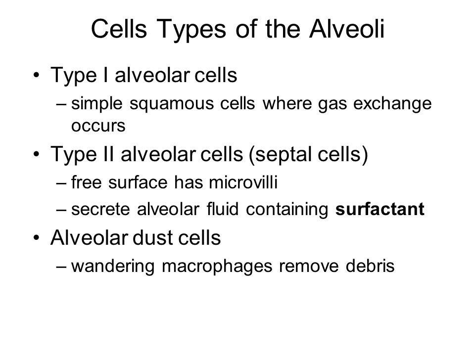 Cells Types of the Alveoli