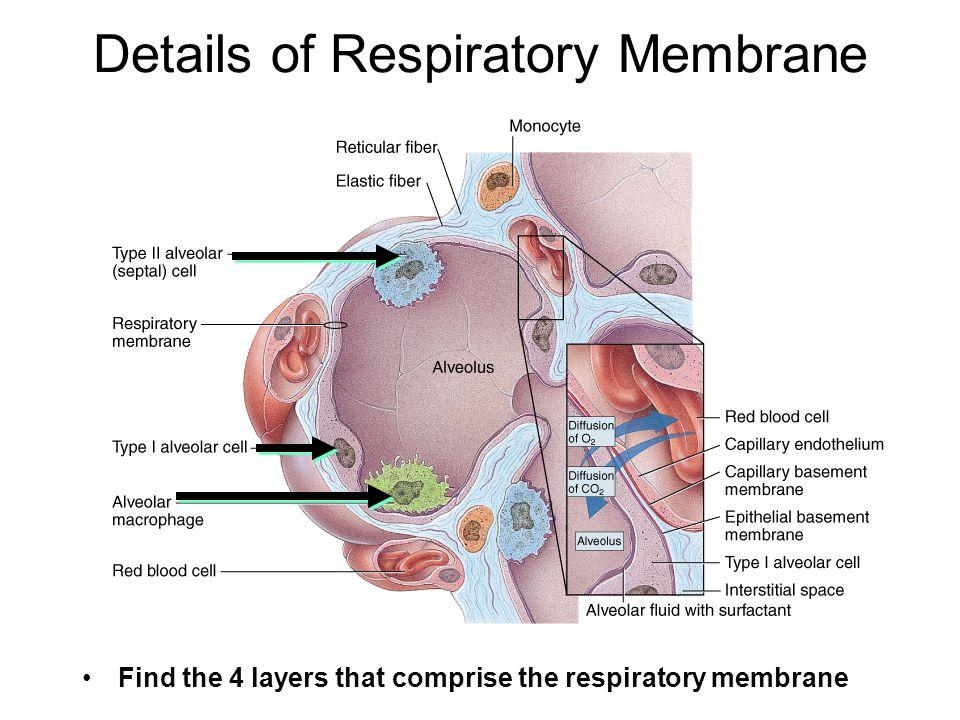 Details of Respiratory Membrane