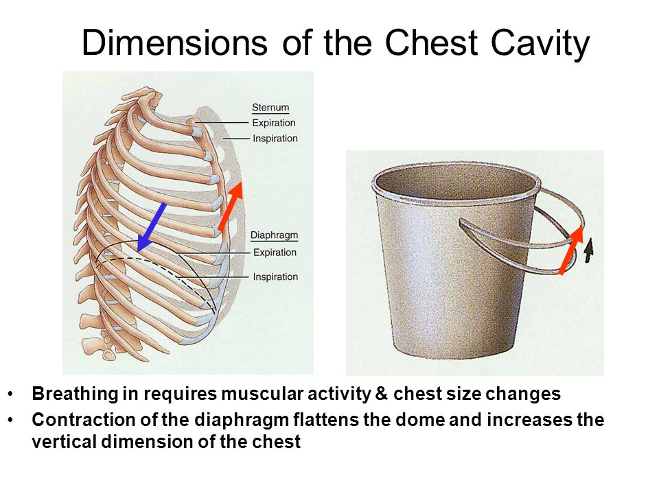 Dimensions of the Chest Cavity