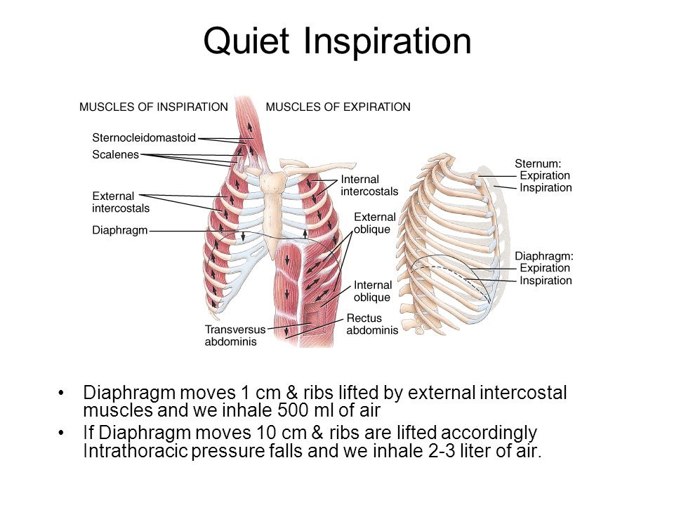 Quiet Inspiration Diaphragm moves 1 cm & ribs lifted by external intercostal muscles and we inhale 500 ml of air.