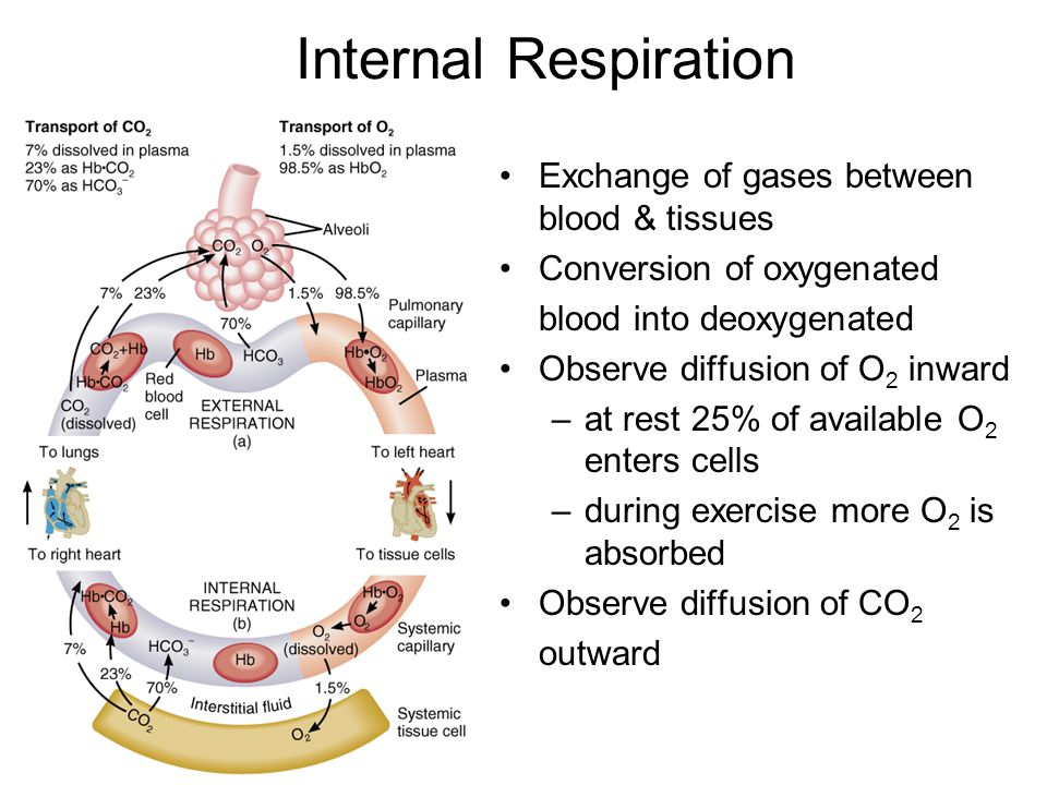 Internal Respiration Exchange of gases between blood & tissues