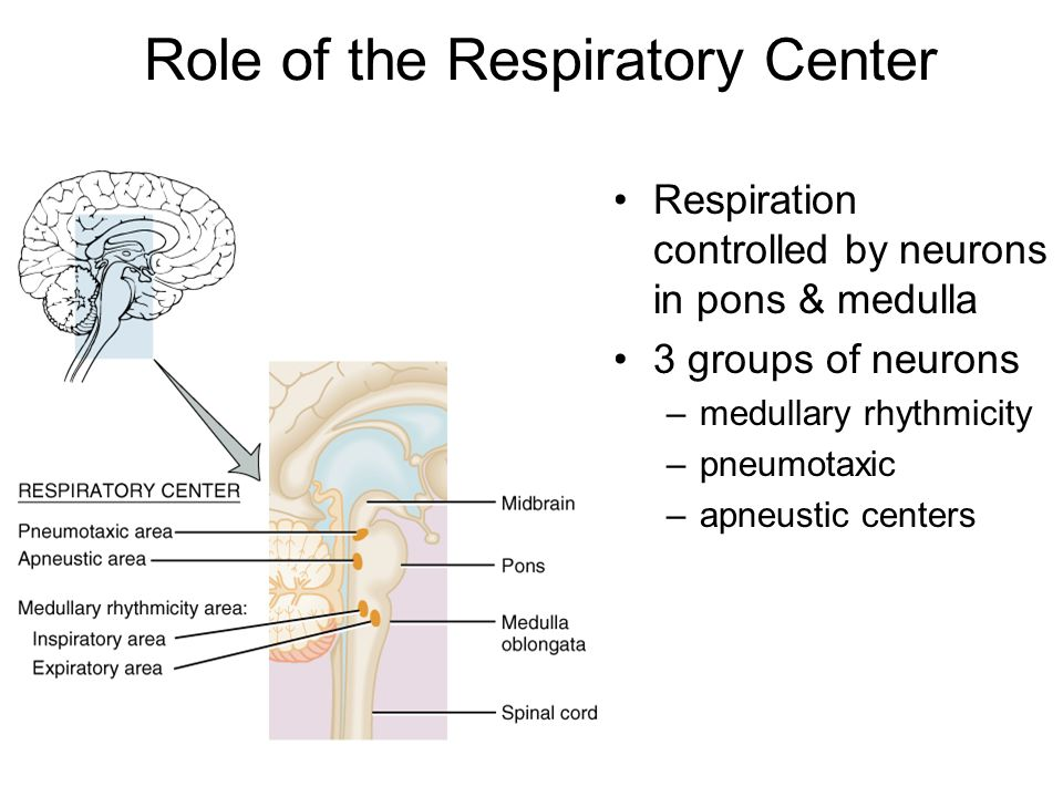 Role of the Respiratory Center
