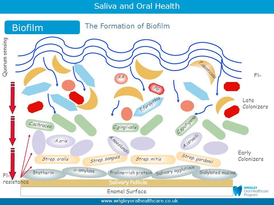 Biofilm The Formation of Biofilm Quorum sensing Fl- Late Colonizers