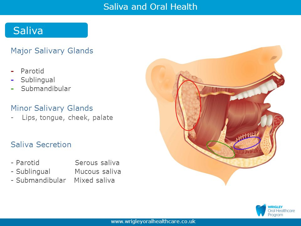 Saliva Major Salivary Glands Minor Salivary Glands Saliva Secretion