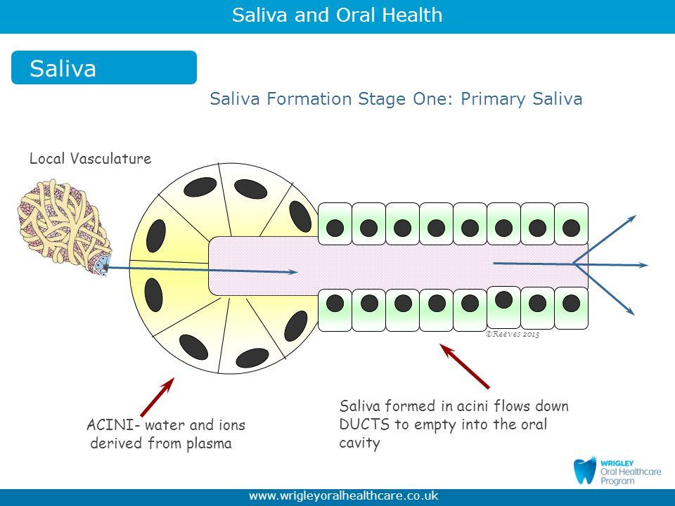 Saliva Saliva Formation Stage One: Primary Saliva Local Vasculature