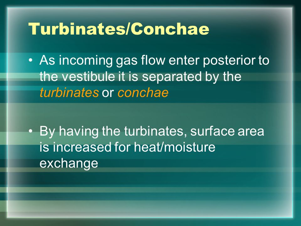Turbinates/Conchae As incoming gas flow enter posterior to the vestibule it is separated by the turbinates or conchae.