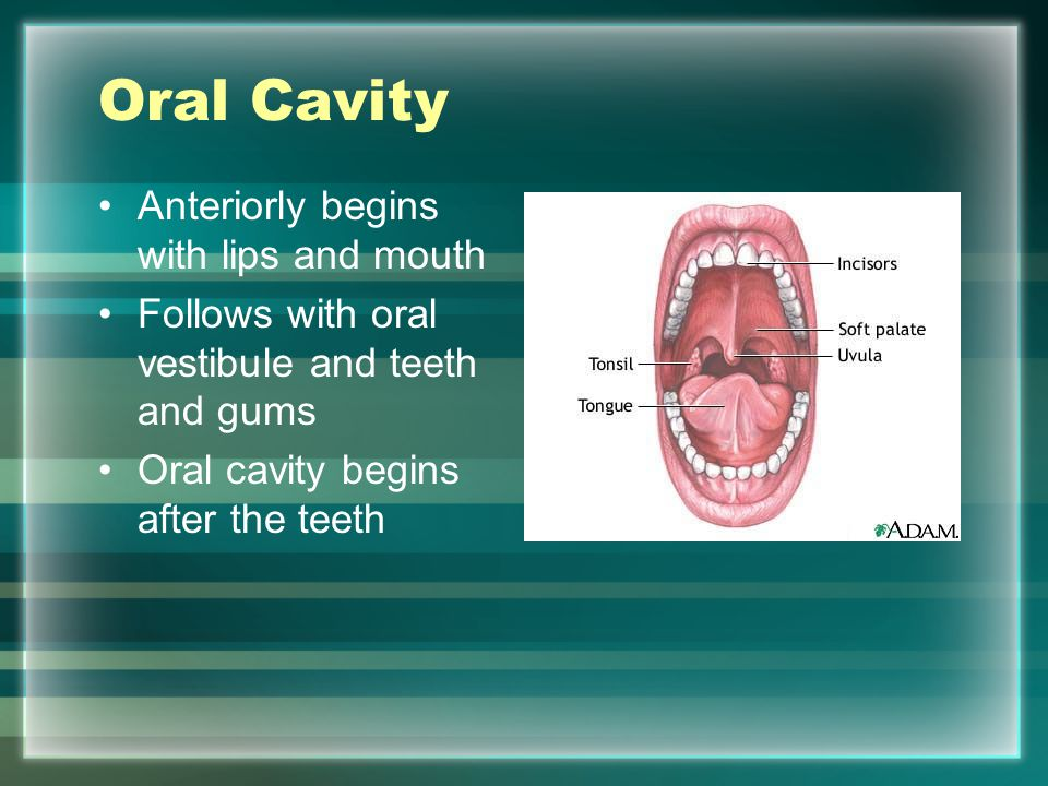 Oral Cavity Anteriorly begins with lips and mouth
