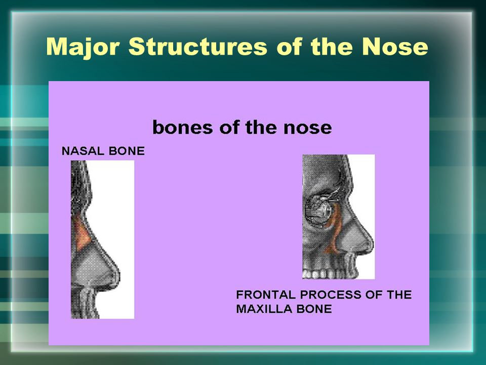 Major Structures of the Nose