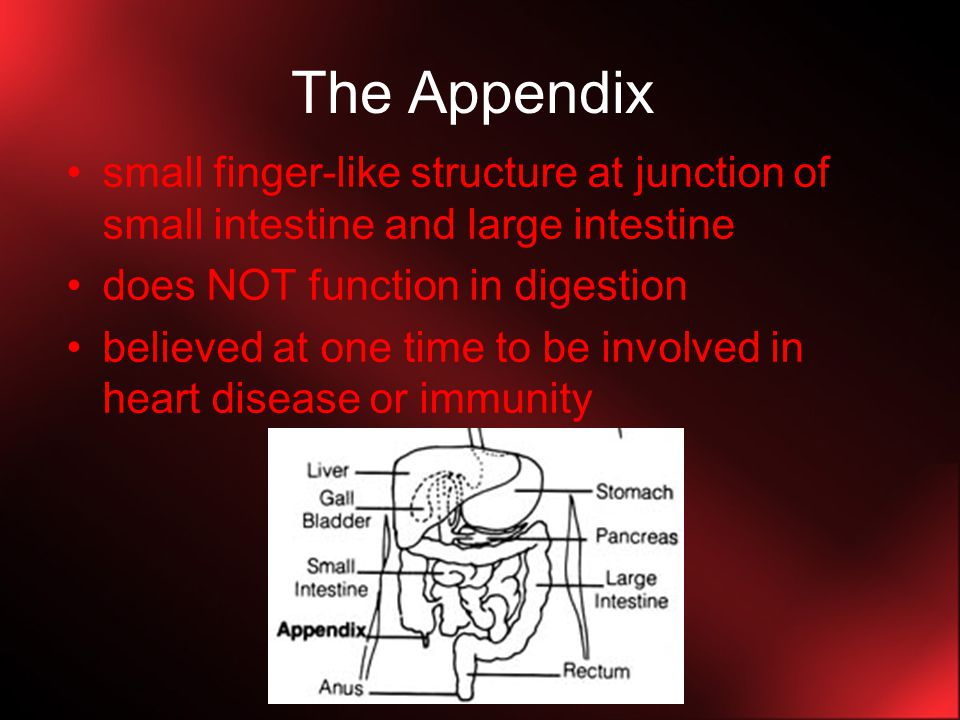 The Appendix small finger-like structure at junction of small intestine and large intestine. does NOT function in digestion.