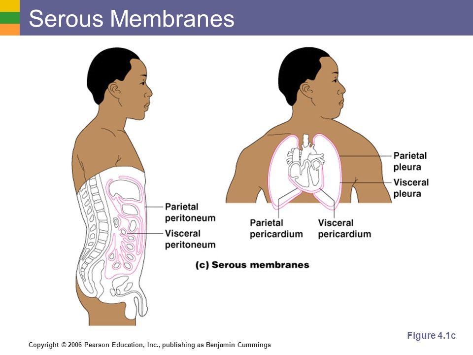 Serous Membranes Figure 4.1c